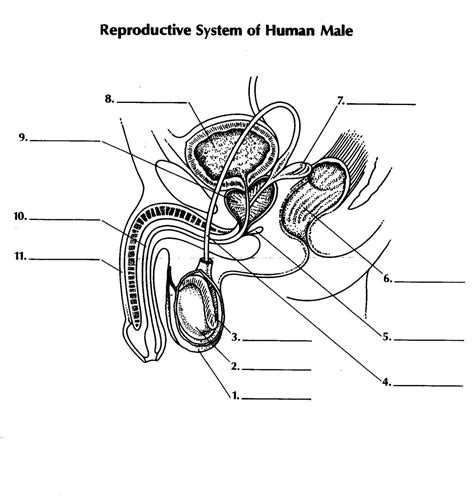 diagram of reproductive system labeled diagram of the reproductive system pictures 3