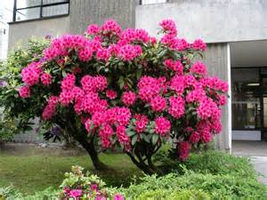 pink rhododendron bush vancouver b c mary flickr