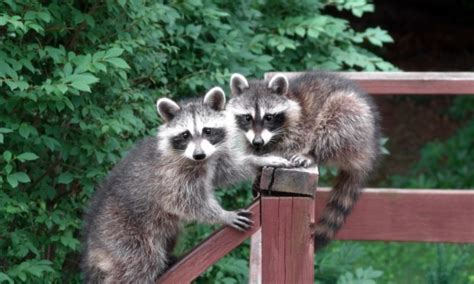 How To Keep Raccoons Out Of Your Garden by Indoor Plant Gardener Gardens