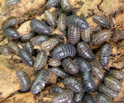 Pillbugs Sowbugs Order Isopoda Images Frompo How To Get Rid Of Pill Bugs In Vegetable Garden