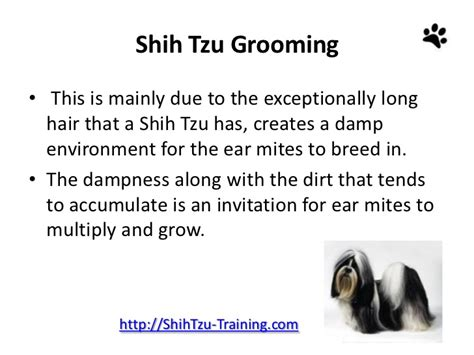 shih tzu ear cleaning shih tzu grooming grooming and caring for shih tzu ears