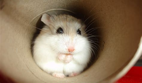 roborovskis hamster facts information pictures