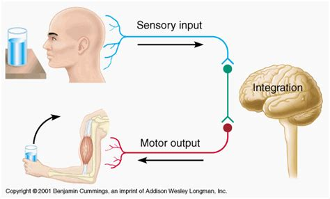 motor and sensory chapter 27 nervous sensory and locomotor systems dual