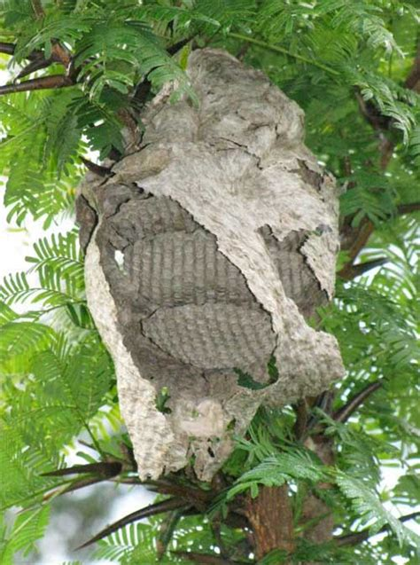 Bees That Make Paper Nests - paper wasp