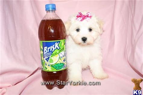 havanese las vegas havanese puppy for sale akc registered amazing teacup havanese puppy by br 6 years