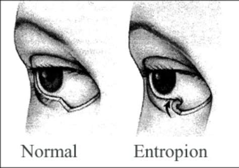 entropion in rottweilers entropion in dogs cats an irritating eyelid problem