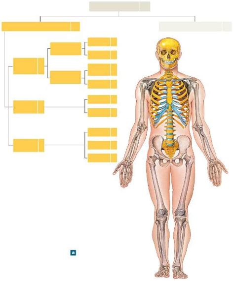 6 Auditory Bones by Print Human Anatomy Chapter 6 Flashcards Easy Notecards