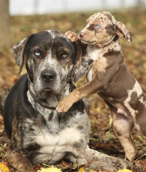 catahoula cur catahoula cur breed catahoula cur or catahoula leopard