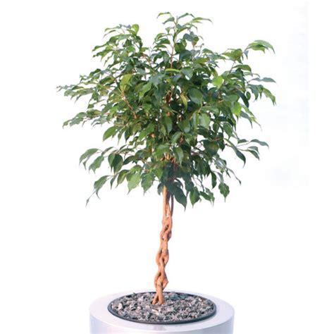 Ficus Benjamin Cura by Ficus Benjamin E Altre Variet 224 Cura Di Questa Pianta