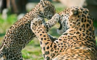How Many Jaguars Are Left In The World Today Jaguar Facts The Garden Of Eaden