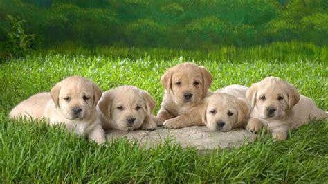 alimentazione labrador cucciolo labrador miele cani taglia grande labrador miele
