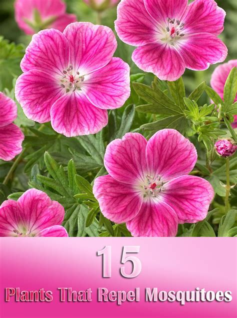 flowers that keep mosquitoes away 100 flowers that keep mosquitoes away 15 plants