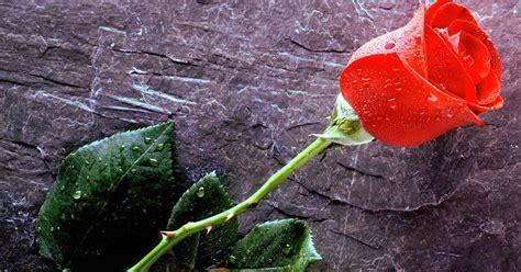 gambar animasi bunga mawar terbaru gambar animasi gif
