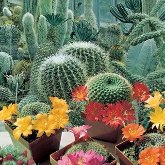 Biji Benih Tanaman Bunga True Desert benih cactus flowers of the desert 3 biji non retail