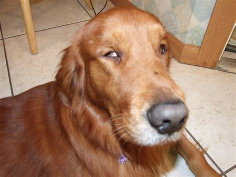 golden retriever problems eye problems third eyelid www imgkid the image kid has it