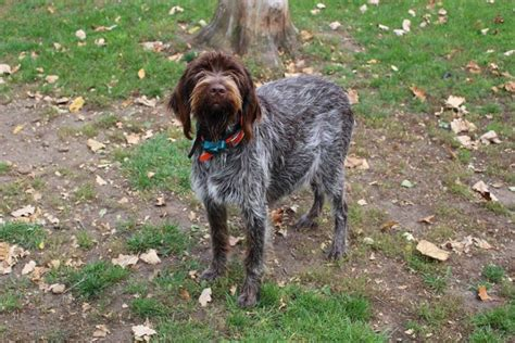 wirehaired pointing griffon puppies price daehler s wirehaired pointing griffon breeders