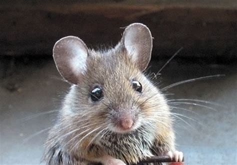 how to get rid of mice in the house how to get rid of mice