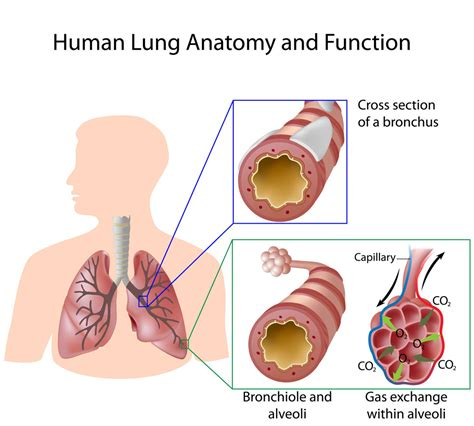 anatomy of a child s lung pediatric pulmonologists lungsanatomy funtion pediatric pulmonologists