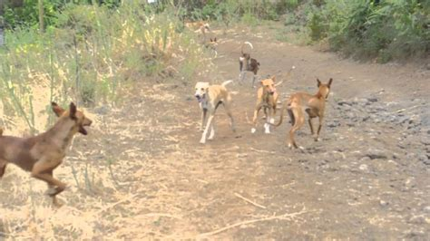 free puppies on island looking dogs running on this island