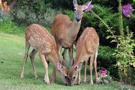 Deer Garden by What To Do About Deer In Your Garden Rhine Landscaping