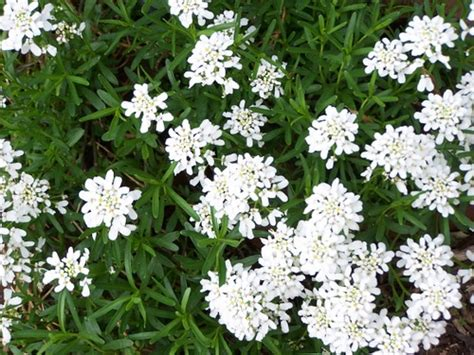 perennial candytuft the perfect border or edging plant blooms tiny white flowers in early