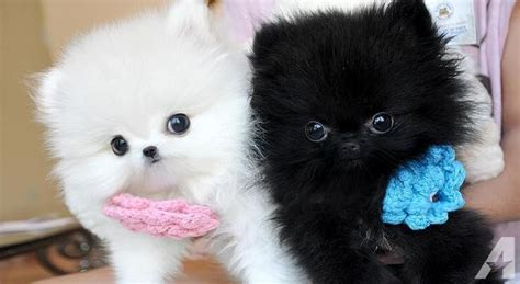 teacup pomeranian puppies for sale in alabama pomeranian puppies for sale in utah breeds picture