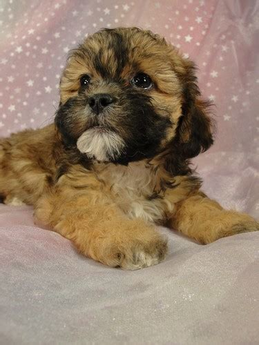 puppies for sale in iowa teddy puppies for sale in iowa looking for quality teddy