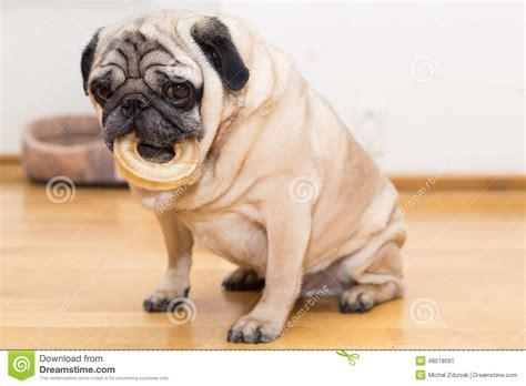 bone pugs pug with a bone stock image image of animal 48518091
