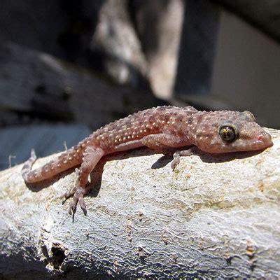 mediterranean gecko facts  pictures