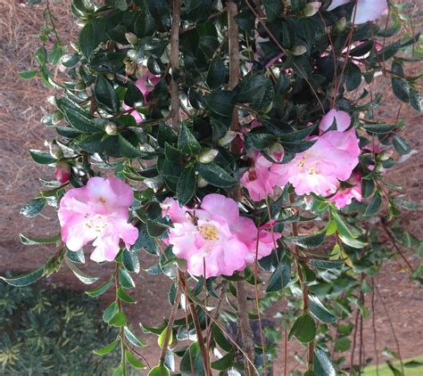 sasanquas dwarf camellias add color to early winter