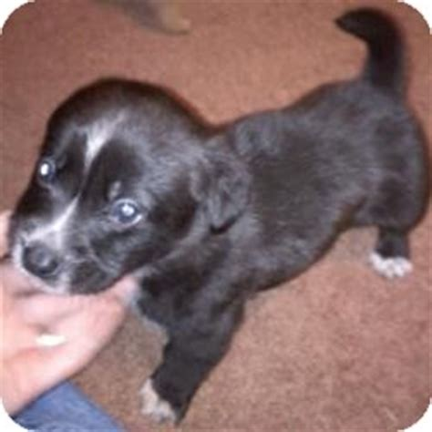 corgi puppies new hshire whimper pending adopted puppy manchester nh corgi labrador retriever mix