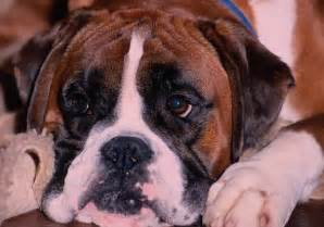 How Do You Stop A Puppy From Digging by Fun Facts About Boxer Dogs How Can I Teach My Puppy Not