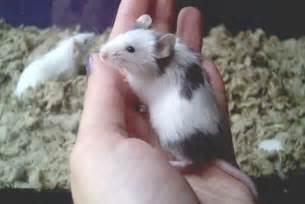 choosing and keeping a pet mouse