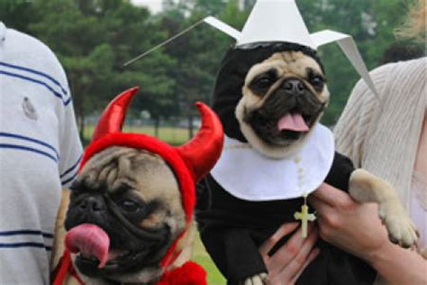 pug runt 1000 images about pugs in costumes on pug pets and pugs dressed up