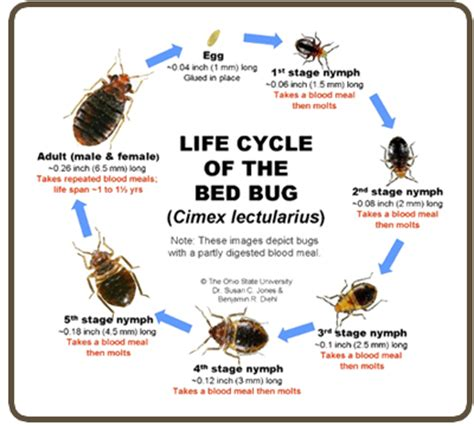 life cycle of a bed bug bed bugs control services in karachi eco services