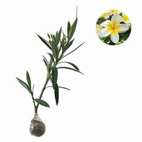 Jual Bibit Oleander jual tanaman jepun putih white nerium oleander bibit