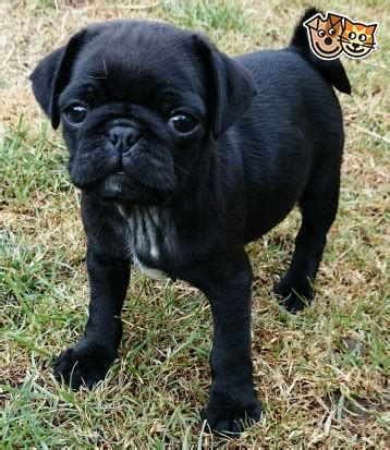 pugs for sale bristol stunning litter of white pug s ready now bristol bristol pets4homes