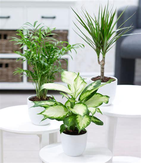 zimmerpflanzen halbschatten zimmerpflanzen mix classic 1a zimmerpflanzen