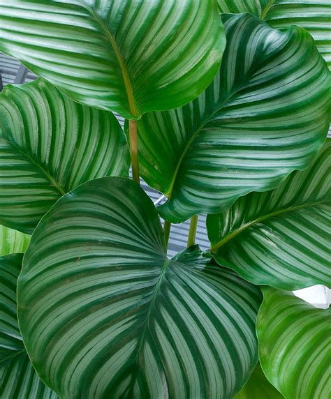 buy house plants  calathea bakkercom