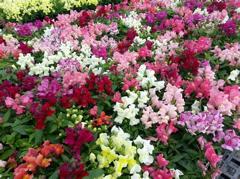 dwarf snapdragons langridge plant sales
