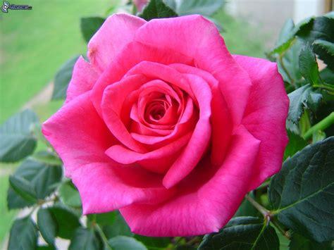 imagenes de flores rositas rosas de color rosa