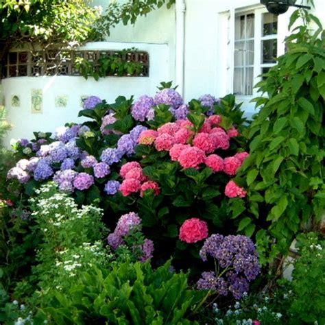 Endless Summer Hortensie 1576 endless summer hortensie hortensie endless summer