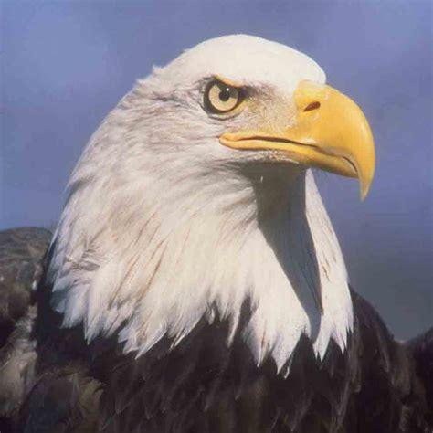 lebih foto burung elang keren