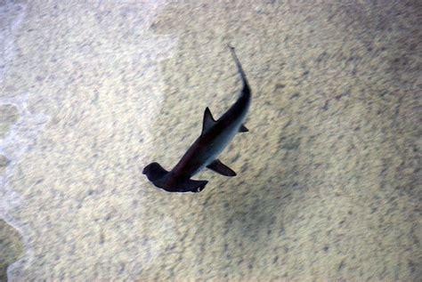 baby shark writer sex cells virgin birth in the hammerhead shark