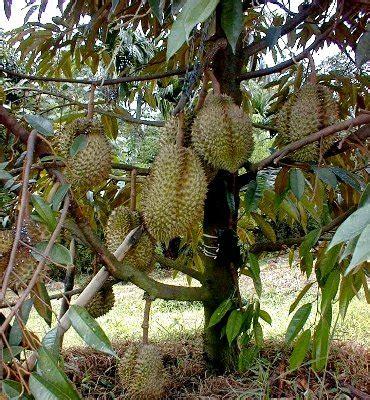 teja tani tips perawatan tanaman bibit buah unggul