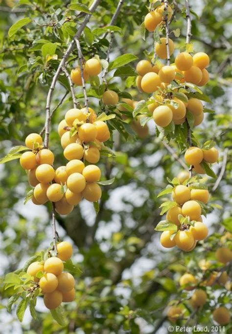 yellow fruit on tree plums bullace fruits on trees