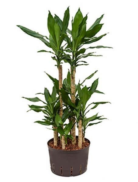 drachenbaum dracaena fragrans sansevieria cylindrica hydrokultur terrapalme