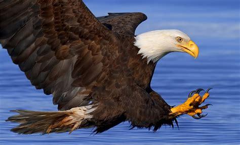 imagenes de aguilas y leones aguila real americana un ave que no es realmente calva