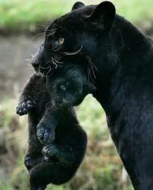 what color is a panther best 25 panthers ideas on baby panther