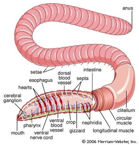 earthworm dissection phylum annelida animal notes biology mrs mccomas